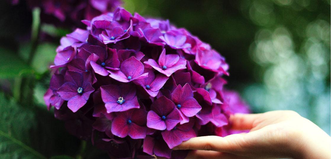 紫の紫陽花と手
